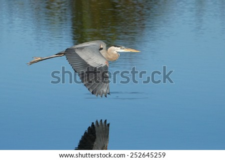 Great blue heron (Ardea herodias) flying above the water - stock photo