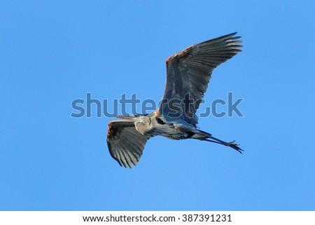 Great blue heron (Ardea herodias) flying in blue sky - stock photo
