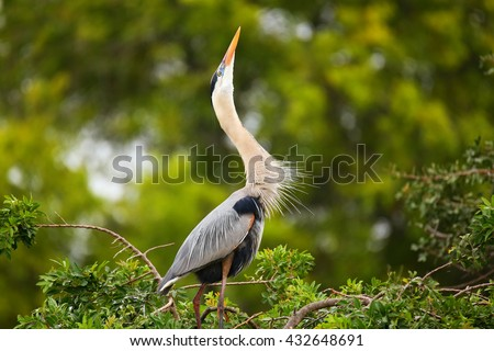 Great Blue Heron (Ardea herodias) in breeding display. It is the largest North American heron. - stock photo