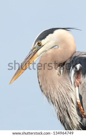 Great Blue Heron (Ardea Herodias) in the Florida Everglades - stock photo