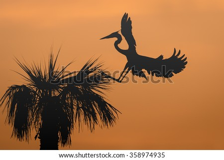 Great Blue Heron (Ardea herodias) landing at its nest in a palm tree at sunrise - Melbourne, Florida - stock photo