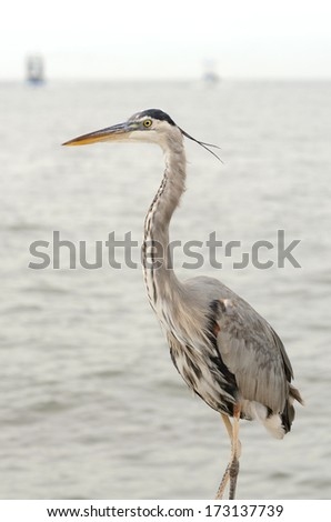 Great Blue Heron, Ardea herodias, looking for fish in the Gulf of Mexico in Louisiana