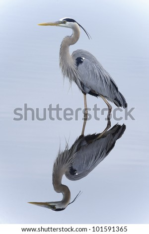 great blue heron, ardea herodias, merritt-island, florida - stock photo