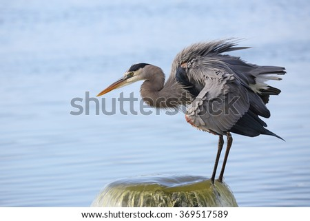 Great Blue Heron (Ardea herodias) Perched on a Water Outflow Pipe - Viera Wetlands, Florida - stock photo