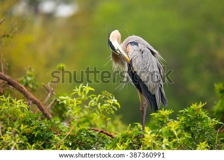 Great Blue Heron (Ardea herodias) preening its feathers. It is the largest North American heron. - stock photo
