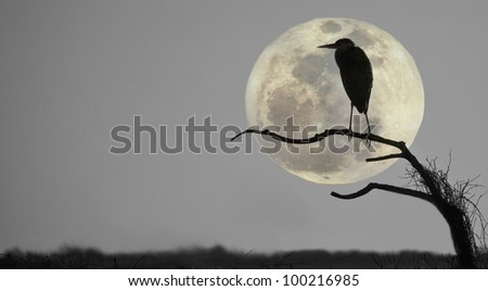 Great blue heron, ardea Herodias, profiled against sky and rising full moon - stock photo