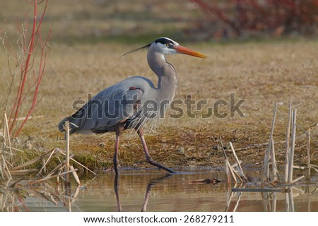 Great Blue Heron (Ardea herodias) Stalking its Prey at the Edge of a Pond- Grand Bend, Ontario - stock photo