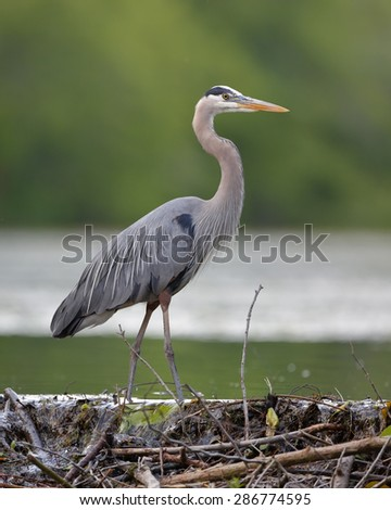 Great Blue Heron (Ardea herodias) Stalking its Prey from a Beaver Dam - Grand Bend, Ontario - stock photo