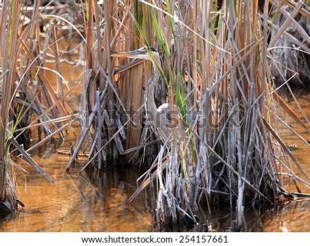 Great blue heron, Ardea herodias, standing among reeds - stock photo