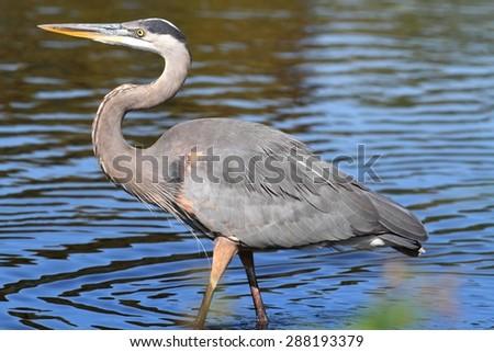 Great Blue Heron (Ardea Herodias) standing in a marsh - stock photo