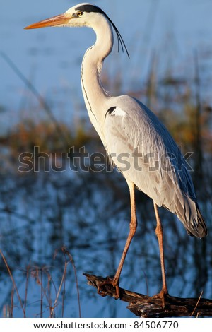 Great blue heron (Ardea herodias) standing on a log - stock photo