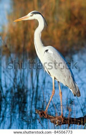 Great blue heron (Ardea herodias) standing on a log - stock photo