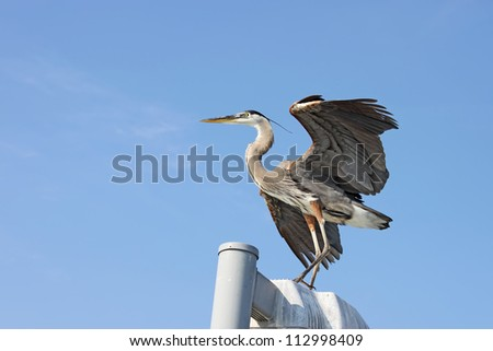Great blue heron (Ardea herodias) standing on a post with its wings spread after landing near Sarasota, Florida, against a bright blue sky with copy space for text