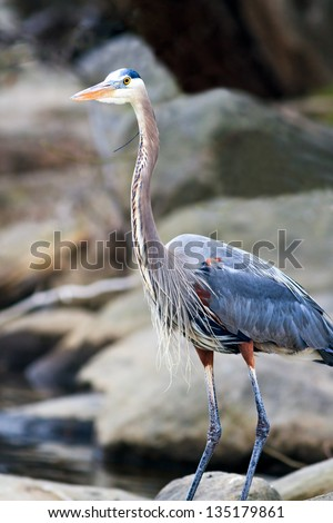 Great Blue Heron (Ardea herodias ) standing tall on a rocky river bank - stock photo