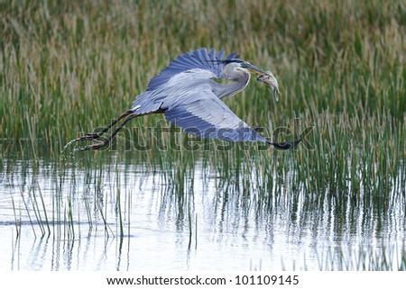 great blue heron, ardea herodias, viera, florida - stock photo