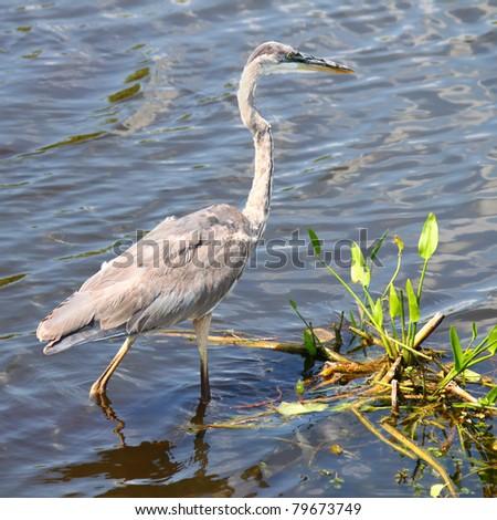 Great Blue Heron (Ardea herodias) wades through the wetlands of Everglades National Park of Florida - stock photo