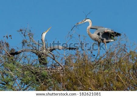 Great Blue Heron (Ardea herodias) Wakodahatchee Wetlands, Delray Beach, Florida, United States - stock photo
