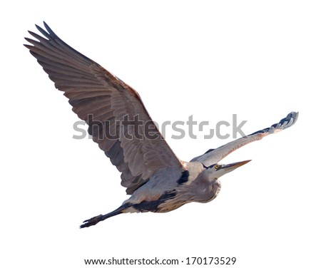 Great Blue Heron (Ardea herodias)with a clipping path.