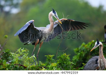 Great Blue Heron (Ardea herodias) with nesting material in its beak. It is the largest North American heron. - stock photo