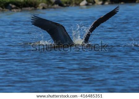 Great Blue Heron diving in lake / Taking a plunge