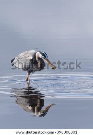 Great blue heron eating fish - stock photo