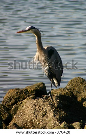 Great Blue Heron Fishing at Bodega Bay. - stock photo