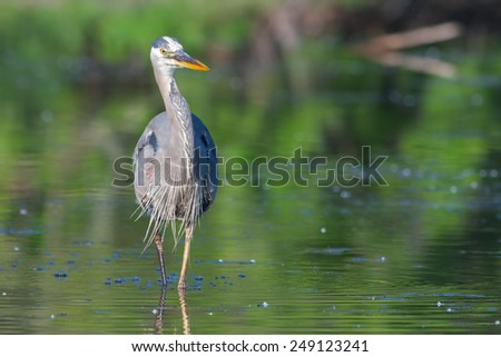 Great Blue Heron fishing in the low lake waters. - stock photo