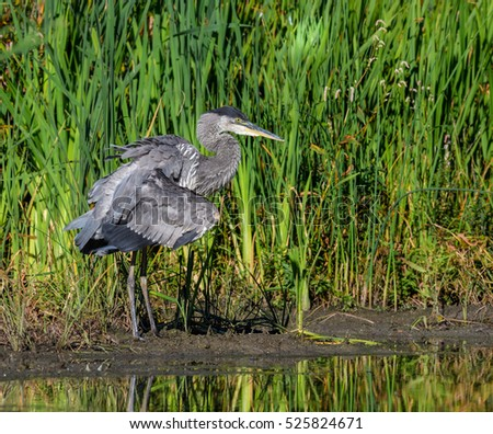 Great Blue Heron Fishing on the Pond