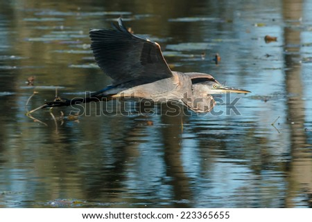 Great Blue Heron flying over the water.
