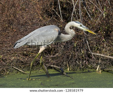 Great Blue Heron hunting in a swamp. - stock photo