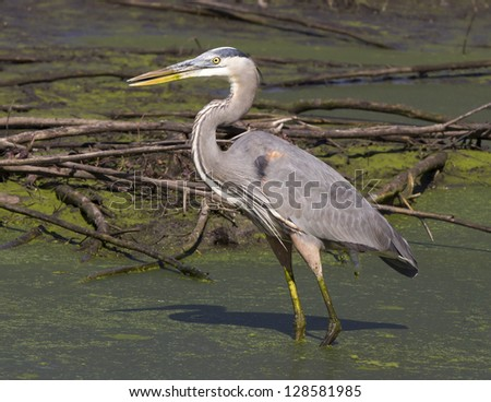 Great Blue Heron hunting in a swamp - stock photo