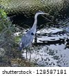 Great Blue Heron Hunting In A Wetland - stock photo