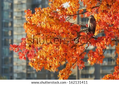 Great Blue Heron in Autumn Tree, Vancouver. A Great Blue Heron perches in a colorful tree in downtown Vancouver. British Columbia, Canada. - stock photo