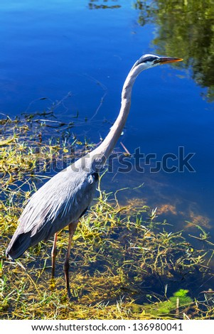 Great blue Heron in Everglades NP,Florida - stock photo