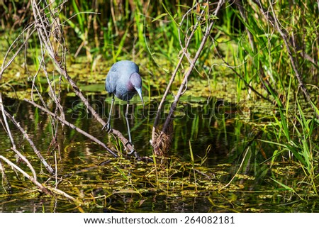 Great blue Heron in Everglades NP, Florida - stock photo