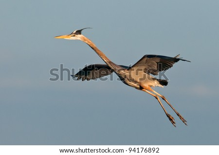 Great blue heron in flight at the Ritch Grissom Memorial Wetlands (often referred to as the Viera Wetlands) in Melbourne, Florida - stock photo