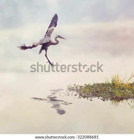 Great Blue Heron In Flight in Florida Wetlands - stock photo