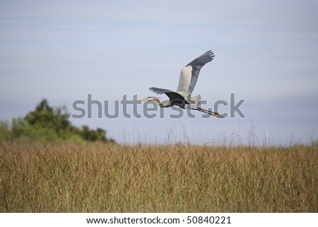 Great Blue Heron in Flight in the Florida Everglades - stock photo