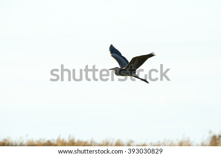 Great Blue Heron in flight over marsh with wings high - stock photo