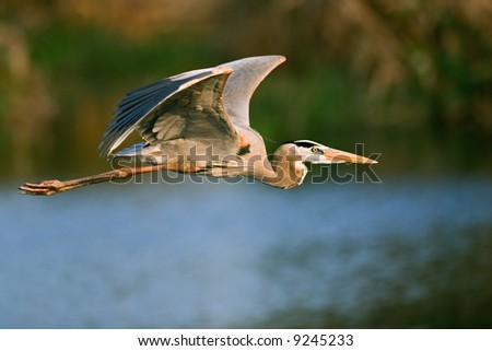 great blue heron in flight over wetland - stock photo