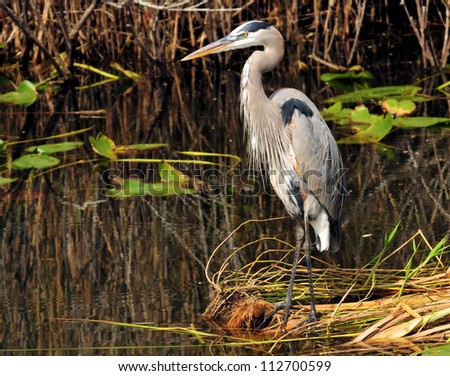 Great Blue Heron in Florida / The Great Blue - stock photo