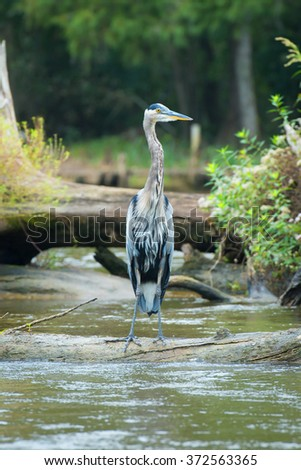 Great Blue Heron in Swamp - stock photo