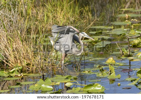 Great Blue Heron in the Everglades - stock photo