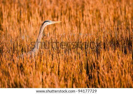 Great blue heron in the reeds at the Ritch Grissom Memorial Wetlands (often referred to as the Viera Wetlands) in Melbourne, Florida - stock photo