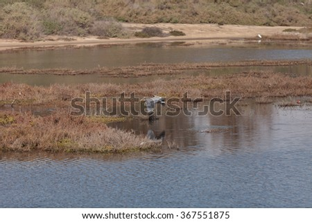 Great blue heron in the wild, foraging in a lake in Southern California