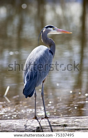 Great blue heron is standing tall on a log by the lake. - stock photo