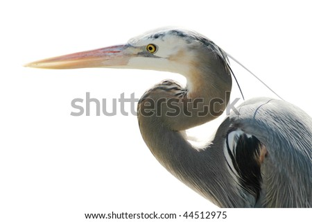 Great Blue Heron Isolated on White Background with Clipping Path - stock photo