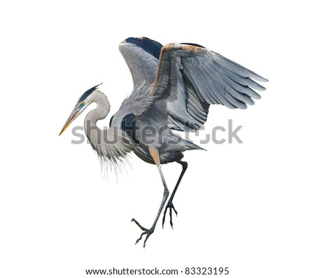 Great Blue Heron, isolated on white. Latin name - Ardea herodias. - stock photo