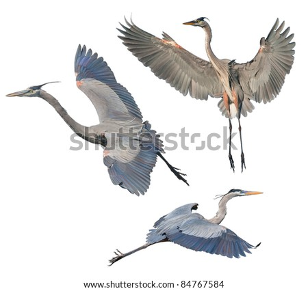 stock-photo-great-blue-heron-isolated-on