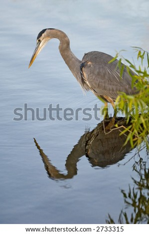 great blue heron looking for fish in taylor creek at everglades national park - stock photo
